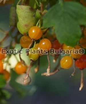 Golden Currant - 3 ltr