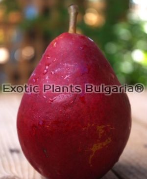 Pear Red Bartlett - 5 ltr pots