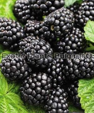 Blackberry Early Black satin