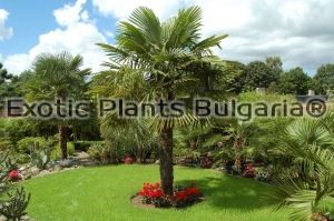 Trachycarpus Fortunei - 150 pcs. pack
