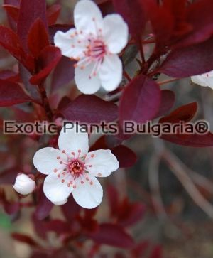 Purpleleaf Sand Cherry - 3 ltr.