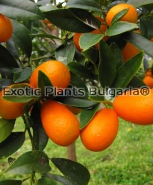 Citrus Kumquat Nagami - 6 ltr - hardy to -12С