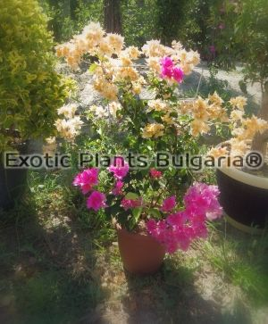 SUNVILLEA (TM) | Bougainvilleas - dowble color - 5 ltr. terracota