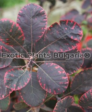 Smoketree 'Royal Purple' - 5 ltr