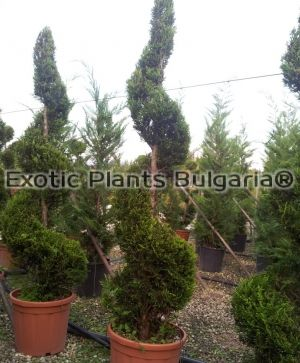 Conifer Spiral different variety - 30 ltr