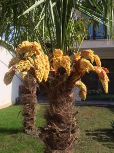 Frost tolerant palms