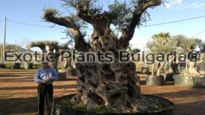 Olive tree - Tour of the stem 4,5 - 6,5 м.