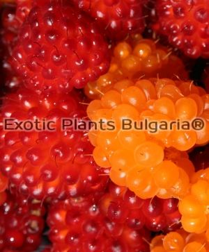 "Salmonberry ""Olympic Double""- 2 ltr"