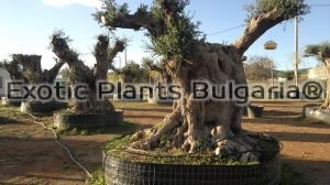 Olive tree - Tour of the stem 3 - 4 м.
