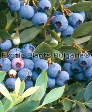Blueberry Berkeley