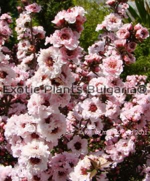 LEPTOSPERMUM scoparium Apple blossom - 3.5 ltr