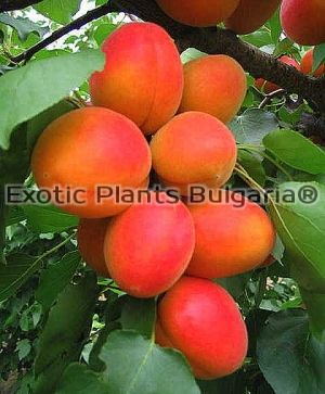 Apricot Orange Rubis® Couloumine*- Bare root