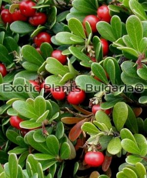 Vancouver Jade Bearberry - 2 ltr.