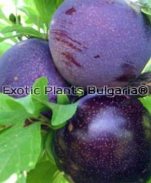 Plum Black Star