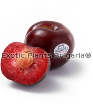 PLUM BLACK DIAMOND ® - ' Suplumeleven'