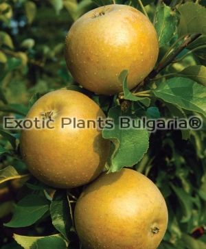 Apple 'Egremont Russet' - 2 ltr.