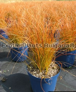 Carex testacea 'Orange Safo' - 2ltr