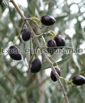 Olive tree KALAMON - 5 ltr.