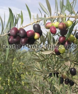 Olive tree Picual - 3 ltr.