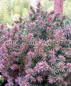 CHAMAECYPARIS thyoides Red star 2 ltr