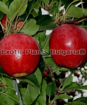 Apple  Buckeye Gala® Simmons ® - 170/200