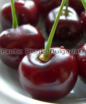 Sour Cherry Arkadia