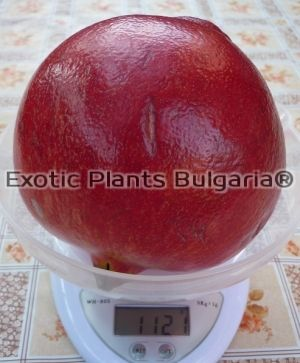 "Punica Granatum ""Wonderful"" 160/170"