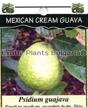 Guava - Mexican Cream - 10 ltr. pot