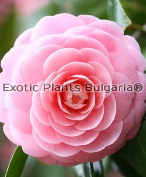 Cammelia Pink Perfection 5 ltr