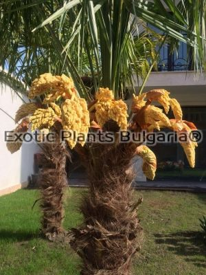 Trachycarpus fortunei - big trunk - 3.5 - 4 м