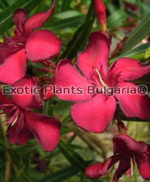 Nerium Oleander Petite Red - Big tree 230/250