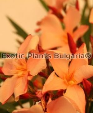 Nerium Oleander - orange color