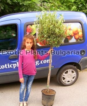 Olive tree Frantoio - Ball - Big tree