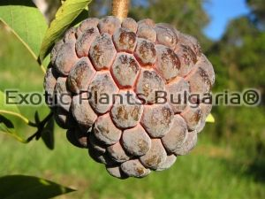 Sugar Apple Purple  - 1ltr. pots