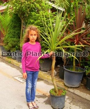 Dracaena indivisa big tree