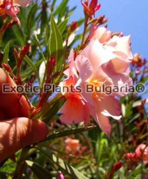 Nerium Oleander Mrs. George Roeding - Big tree 230/250