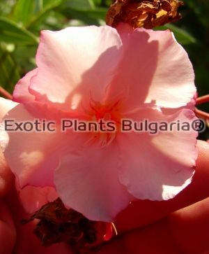 Nerium Oleander Mrs. George Roeding - Big tree 120/170 см