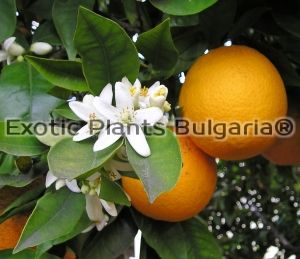 Citrus x sinensis -  Merlin - Hardy to - 6C