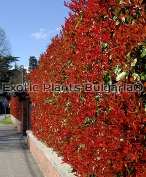 Photinia Red Robin - Topiary - 10 ltr. pots