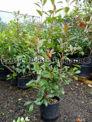 Photinia Red Robin - 7 ltr pots
