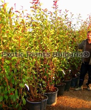 Photinia x fraseri 'Red Robin' - 45 ltr.