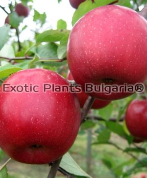 Apple Zhen® Fuji Aztec