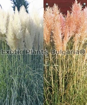 Cortaderia Selloana pink and white