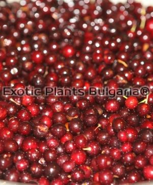 Canada Red Chokecherry - 5 ltr. /150cm+