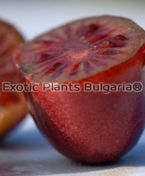 Actinidia 'Ken's Red' - 3 ltr.